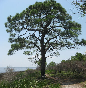 Pinus elliottii at St. Joseph Peninsula State Park, Gulf County, Florida.