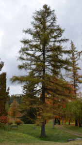 Western Larch in the fall.