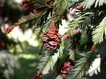 redwood cones