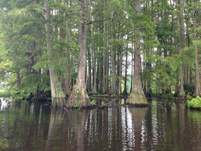 Cluster of bald cypress trees in Trap Pond State Park