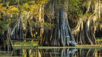 A grove of Bald Cypress, location unknown