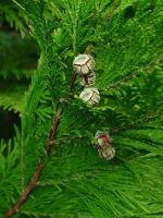 port orford white-cedar female cones