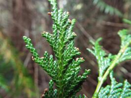 port orford white-cedar foliage