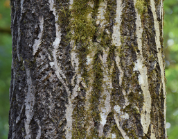 butternut tree bark
